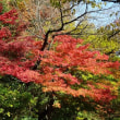 「紅葉」/江戸川橋公園(2017初冬)