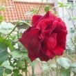 『手づくり郷土賞』受賞の散歩道には薔薇がちらほら☆花乃みち☆兵庫県宝塚市♪