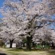 結城城址公園の桜が満開です!!