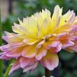 ダリア 「春の夢」「春の宴」