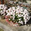 オキザリスが咲きました