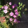 薔薇🌹💫が咲いた〜薔薇🌹💫が咲いた〜🎶