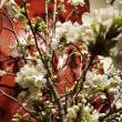 今日のぼて桜
