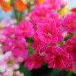 ◇八重咲きカランコエ 'カランディーバ' ◇