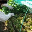 小松菜・青梗菜・大根葉を収穫