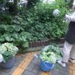 7/15 花壇のアジサイお手入れ