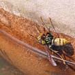 女王様の登場! キアシナガバチ(黄脚長蜂)
