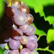ミニ菜園の葡萄