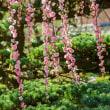 2018唐津花めぐり  枝を広げ樹齢100年のしだれ梅吉村家 《唐津市浜玉町平原》