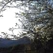 スーパー林道展望台の桜