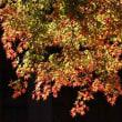 17日の散歩 ( 立本寺、大将軍八神社、平野神社からの秋だより )