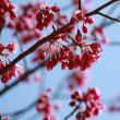 3/13 鬼ヶ城の寒緋桜