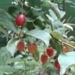 庭のグミが赤く色づいてます