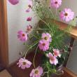 コスモス と 秋明菊