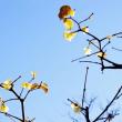 蝋梅(ロウバイ)が見頃です!(赤塚植物園 2019.1.19、20 撮影)