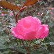 秋霖のバラ、鎌倉文学館