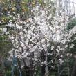 暖地サクランボの花