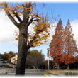 秋の紅葉から冬の裸樹へ(^^♪和名はアケボノスギ 巨木セコイアにその姿が似ている「メタセコイア」