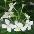 シロバナヤクシマハシカンボクの花は