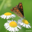 ベニシジミ(蝶)