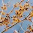 マンサクの咲く小枝のジョウビタキ♂