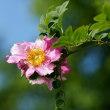 先ほど投稿の「サンショウバラに近い中国のバラ」の花