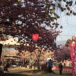 尼寺の八重桜