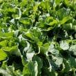 野菜ソムリエコミュニティかながわの麦踏み&野菜収穫体験