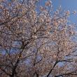 桜はまた咲く。
