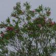 フェイジョアの花・オカトラノオの花も見頃
