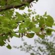 銀杏の花(雄花)