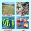 シシトウ初収穫