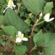 ドクダミの花が咲いています
