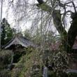 枝垂れ桜開花状況(平成29年4月18日)