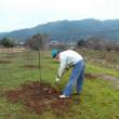 太秋柿を定植しました