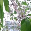 今日の歳時記。枝垂桜