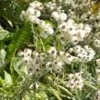 道ばたにヤマハハコの花が咲いている