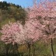 桜 サクラ さくら