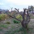 梅の木の枝打ち