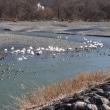 豊科、犀川の白鳥湖 今年も!