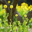 梅園の菜の花