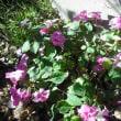 バラの間の インパーチェンスの花