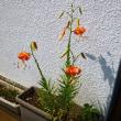 ヤマユリか、鬼ユリか。 そして、玄関に花を活ける。
