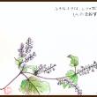 小さな小さな、シソの花(水彩色鉛筆)