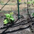 《 アップルゴーヤ 》と< 山芋 >を植え付け