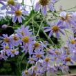 紫苑 (しおん)という花