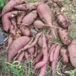 サツマイモ収穫