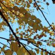 黄葉 Les feuilles jaunes