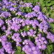 <アゲラタム> アザミのような青紫の小花がこんもりと密集