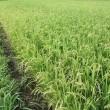 今年の稲作は